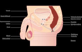 anatomie-penis-masculin