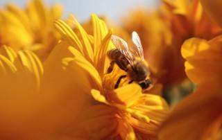 Une abeille qui butine une fleur, propolis bio, bivea